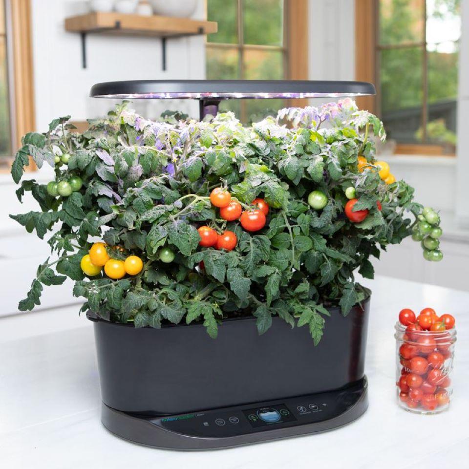 taman dalam ruangan dengan tanaman tomat di atasnya