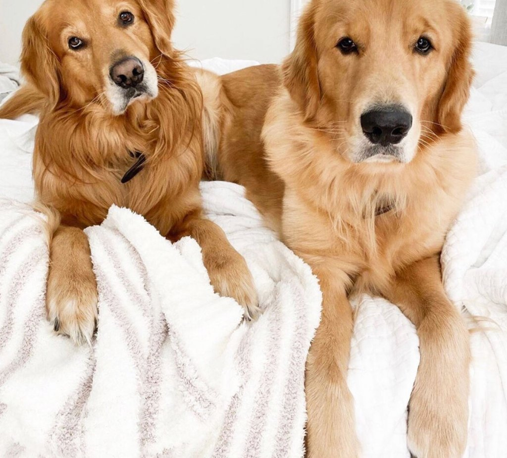 two golden retrievers laying on a bed with a white and taupe striped fuzzy blanket