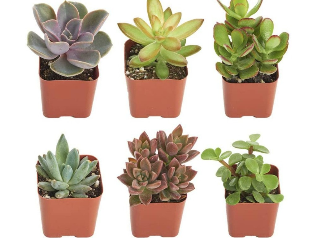 six succulent plants on Amazon