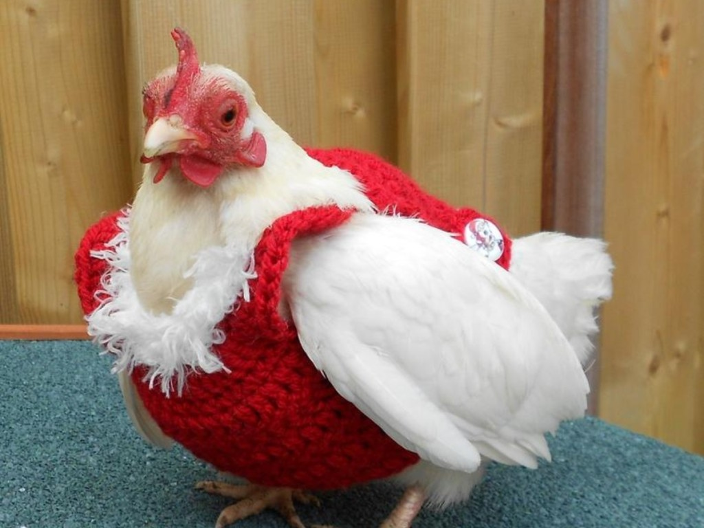 chicken wearing a red sweater