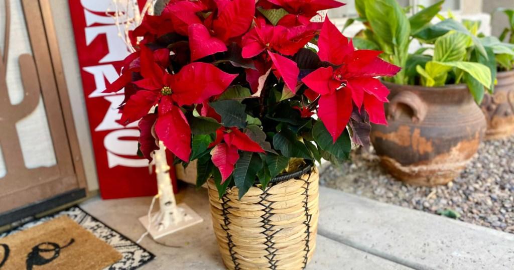 poinsettia plant on porch