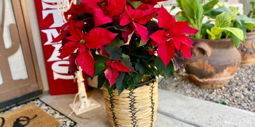 Costco Has Potted Christmas Poinsettias & Greenery from $15.99