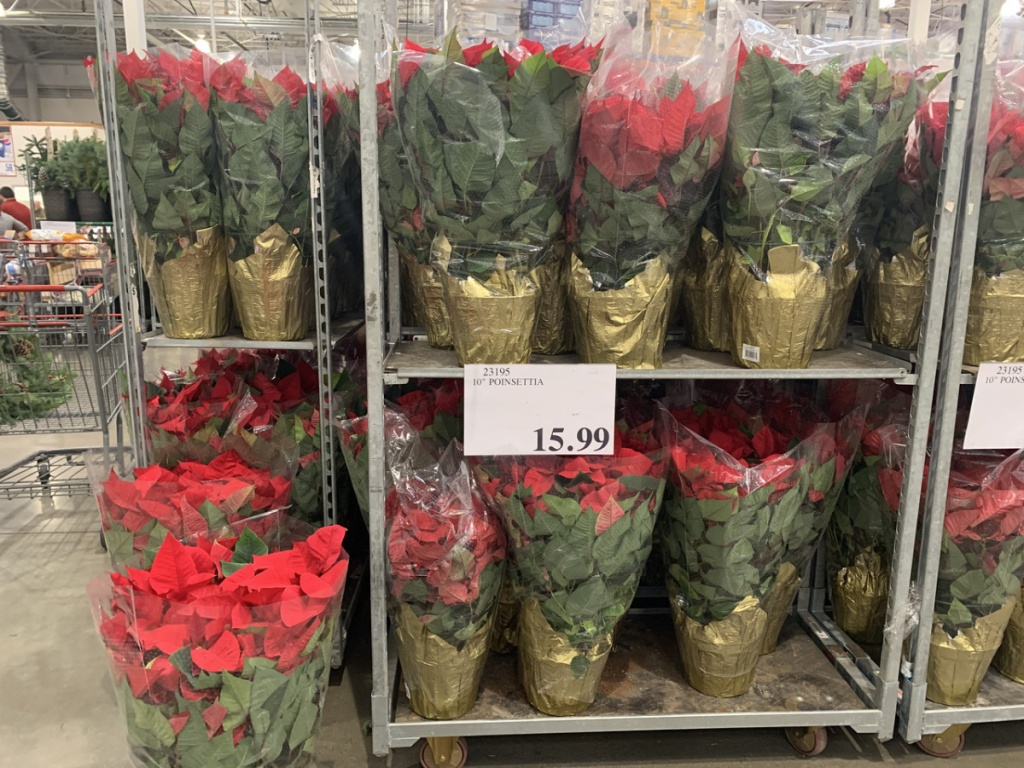 store display of potted poinsettias