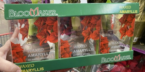 Waxed Amaryllis Bulbs 3-Count Just $19.99 at Costco | In-Store Only