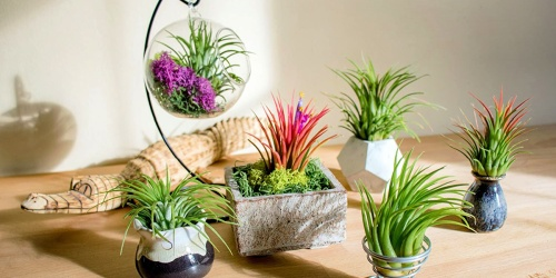 Air Plant Variety Packs Only $10.99 on Amazon | Great Gift Ideas
