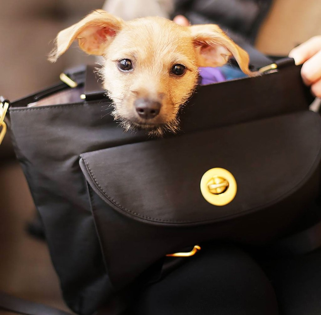 small dog popping out of the top of a black tote bag