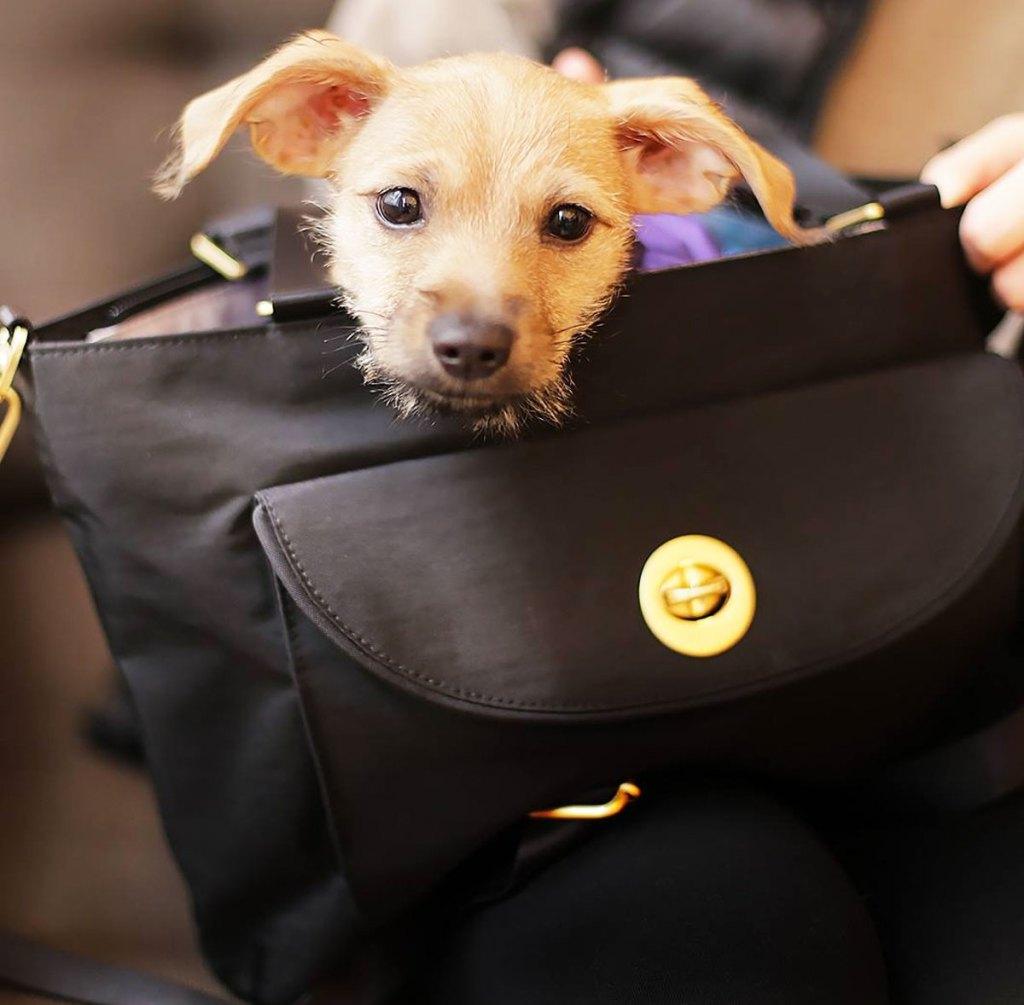 anjing kecil muncul dari atas tas jinjing hitam