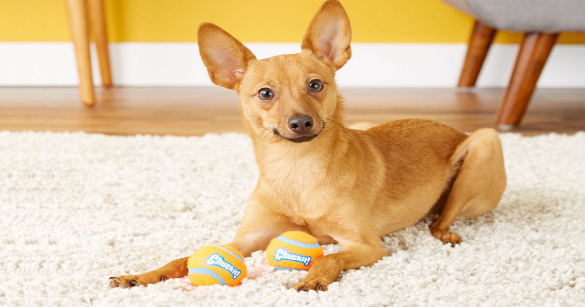 small brown dog laying on carpet with two orange chuckit brand small tennis balls in front of them