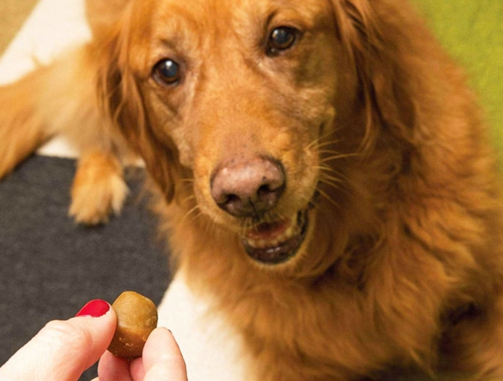 woman with red nails handing a pill pocket treat to a golden retriever