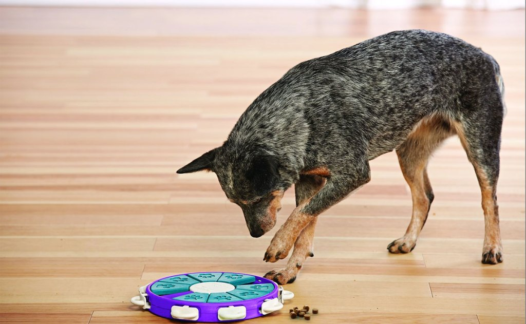 blue heeler dog playing with puzzle treat toy on floor