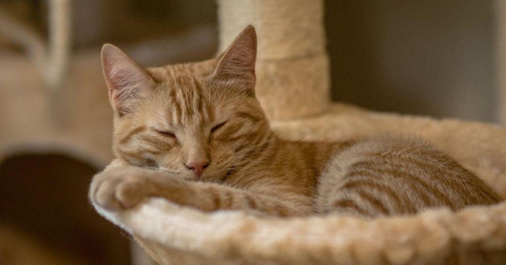 tan cat nappin in hammock on cat tree