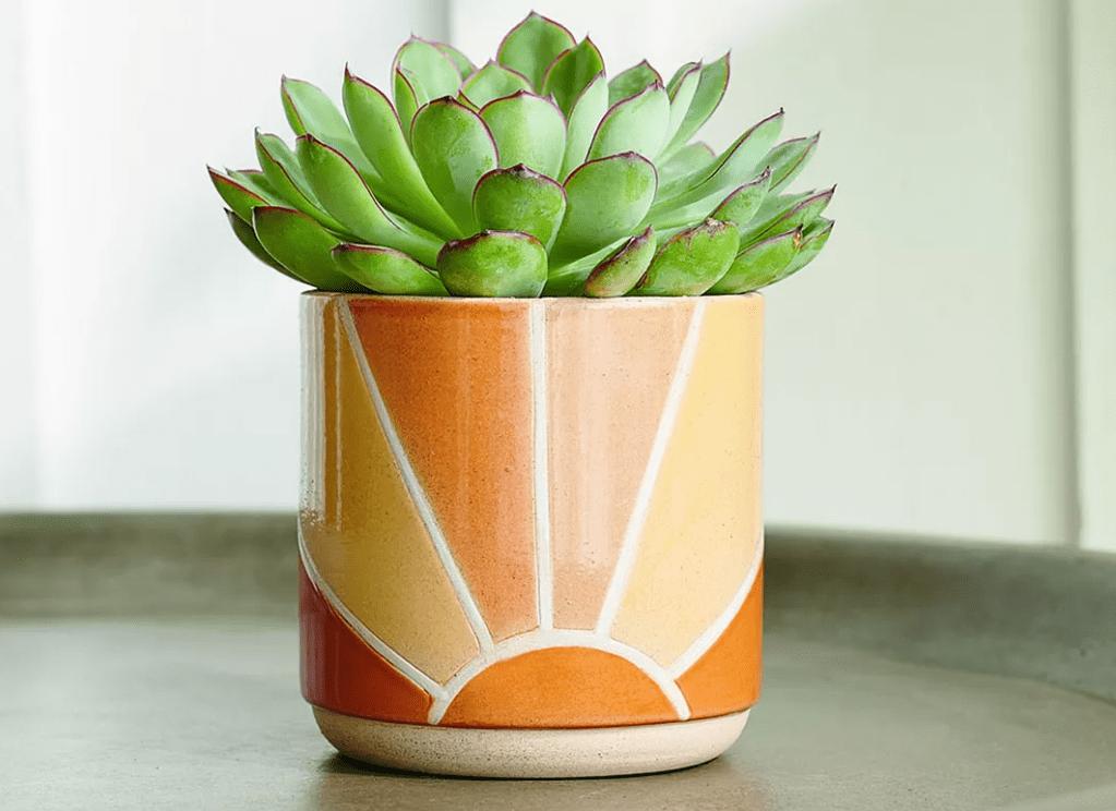 sunrise planter with succulent