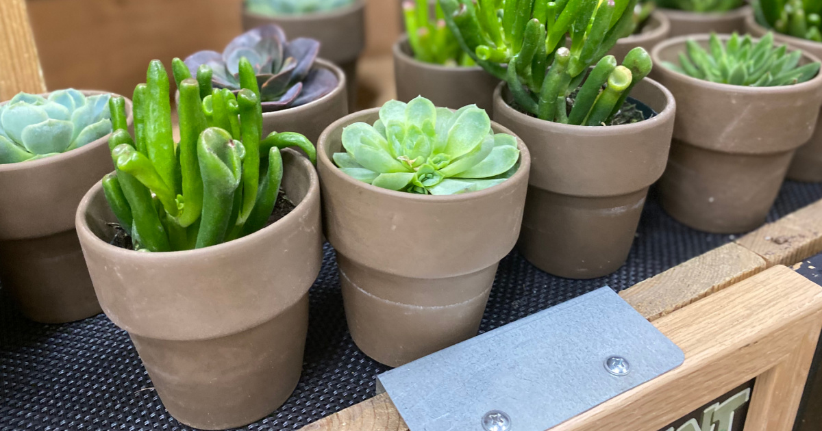 Potted succulents on display in-store