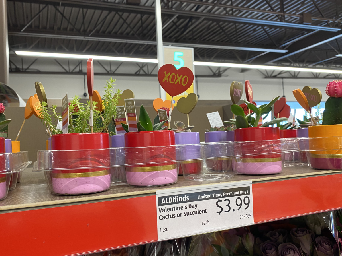 Valentine's Day Cactus & Succulent Assorted Varieties at ALDI