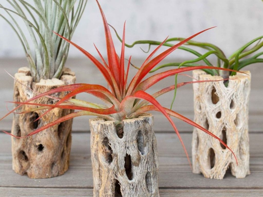 3 Zulily Air Plants w/ Cholla Holders