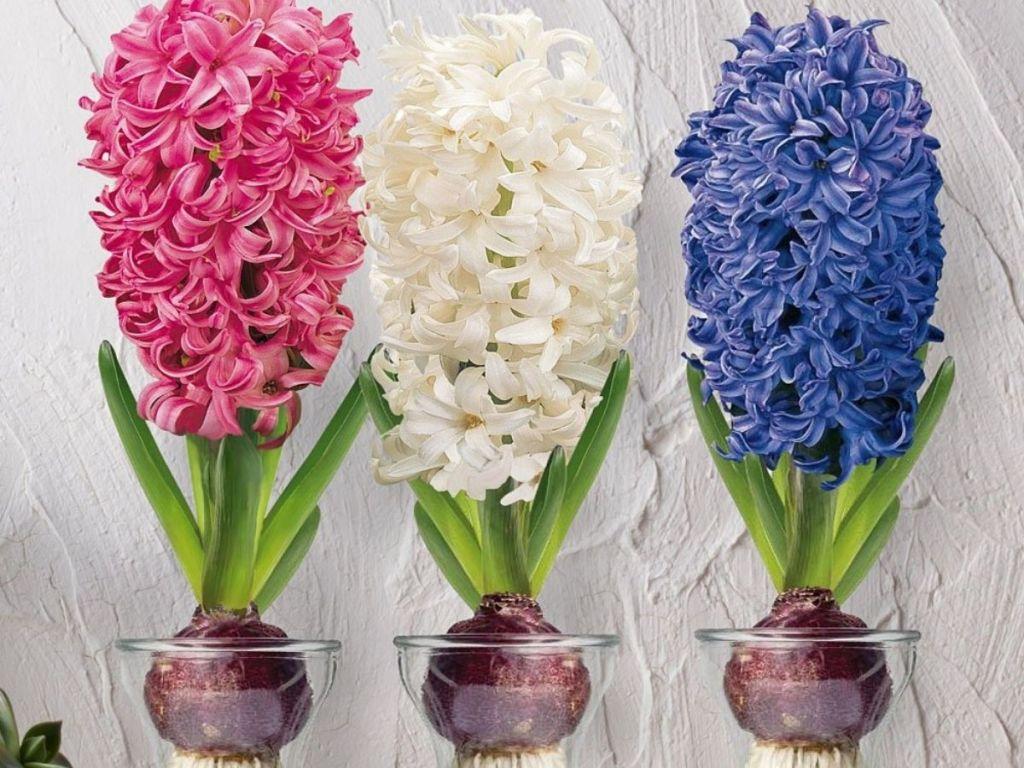 3 Zulily Hyacinth Plants