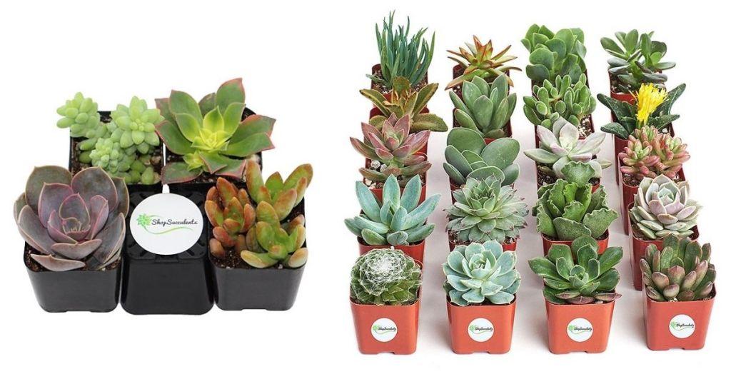 2 Zulily Indoor Gardening Succulent Sets