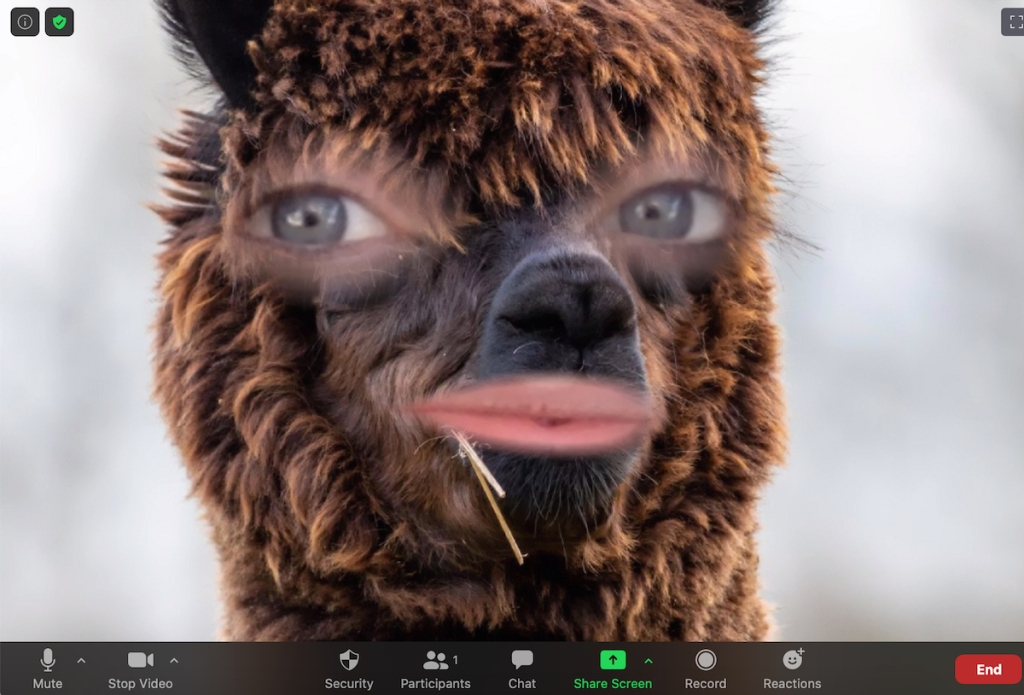 close up of alpaca face on zoom call background