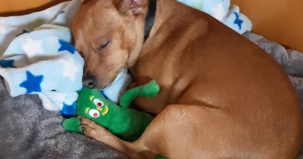dog snuggling a toy gumby