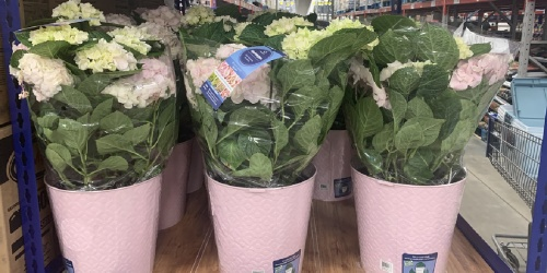Hydrangea Planters Only $19.98 at Sam's Club | Great for Gifting