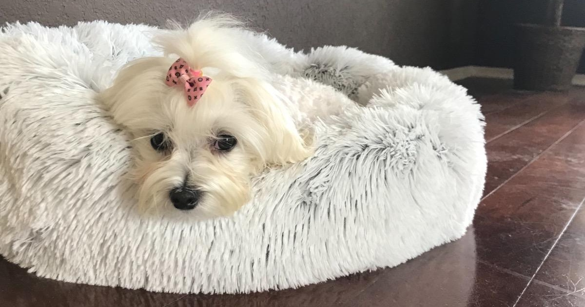 small white dog on white dog bed