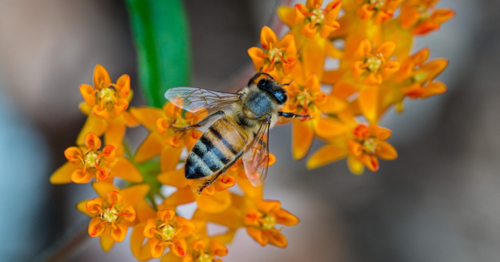 bee on butterfly milkweed plant