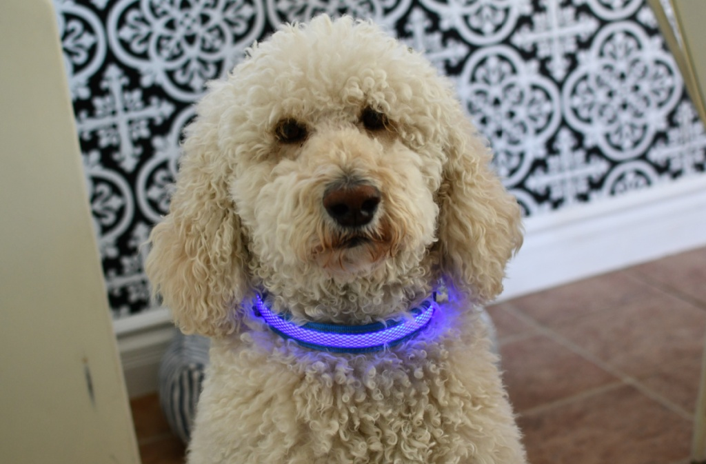 Dog wearing light up collar