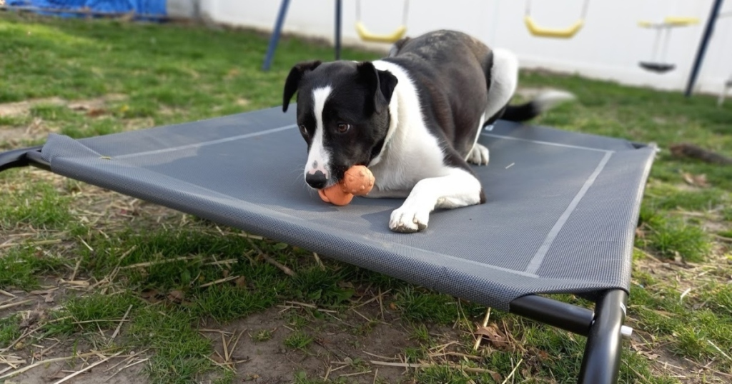 dog chewing toy on elevated bed