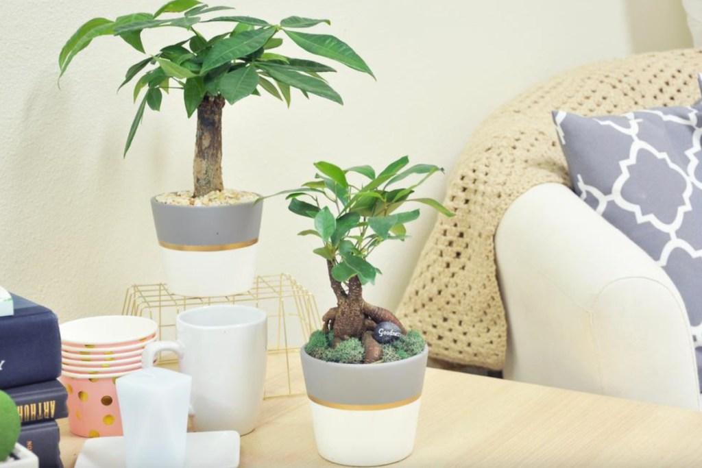 2 bonsai plant