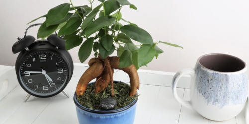 Bonsai Ficus Ginseng Potted Plant Just $17.98 Shipped on HomeDepot.com (Regularly $27)