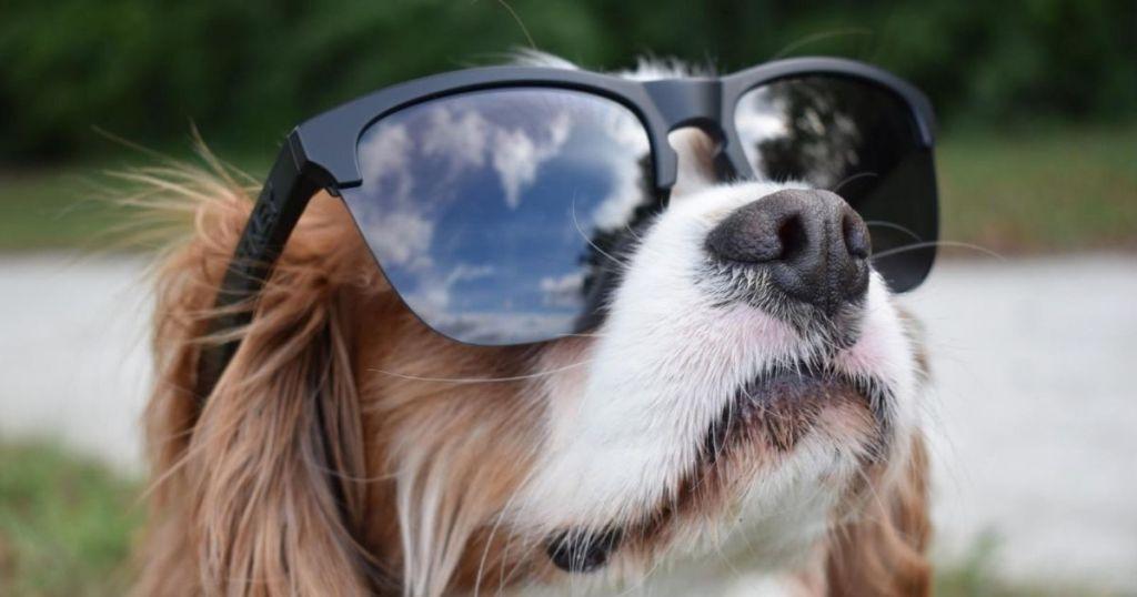 Oakley Frogskin sunglasses on a dog
