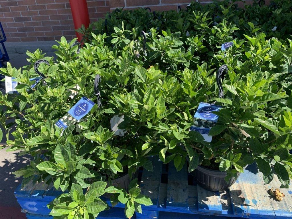 Gardenia hanging plants