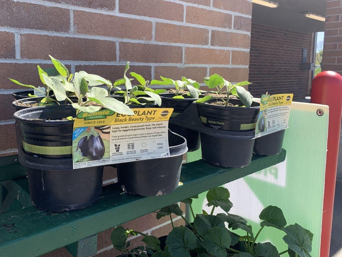 eggplant plants at sam's club
