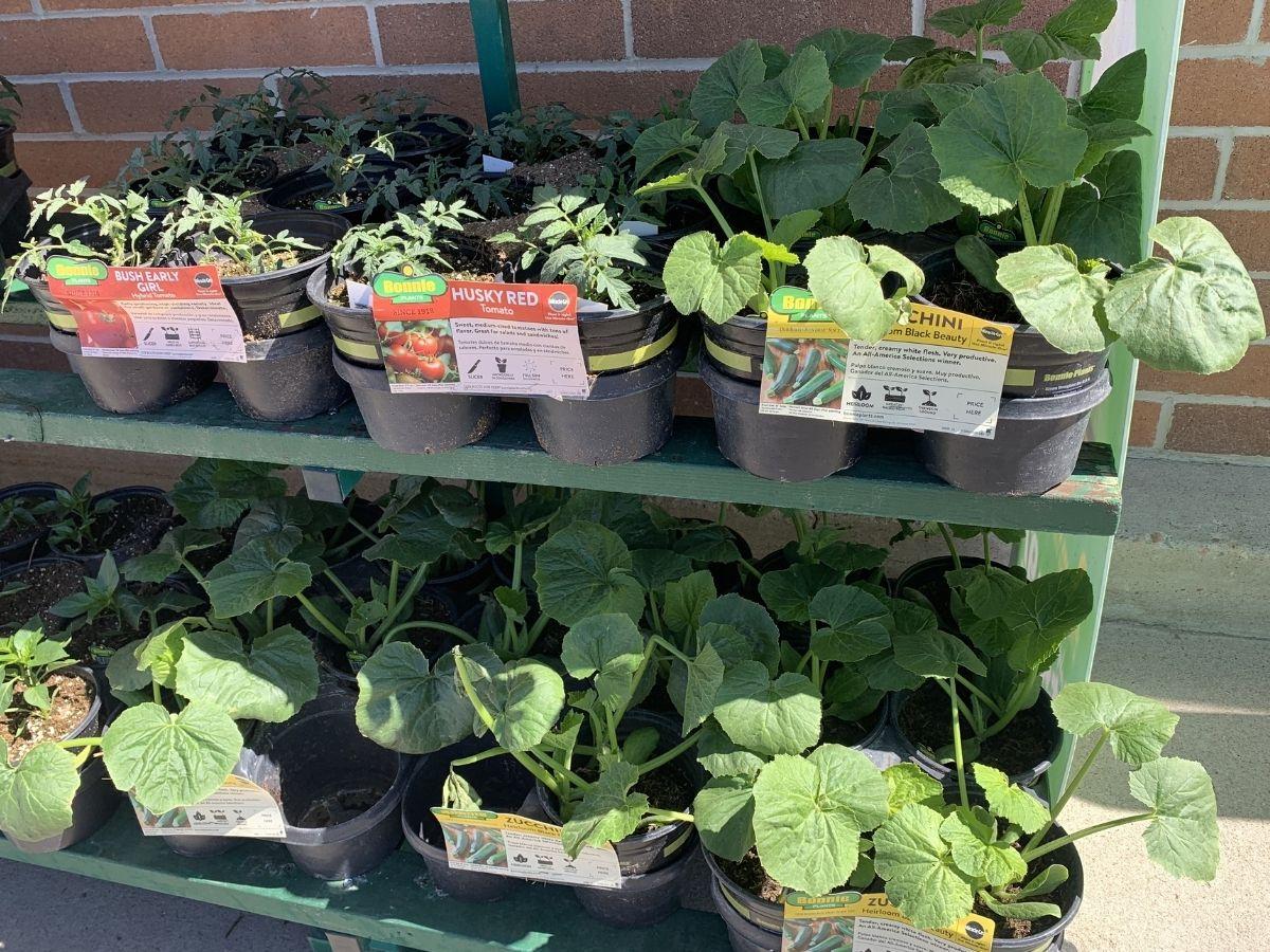 vegetable plants at sam's club