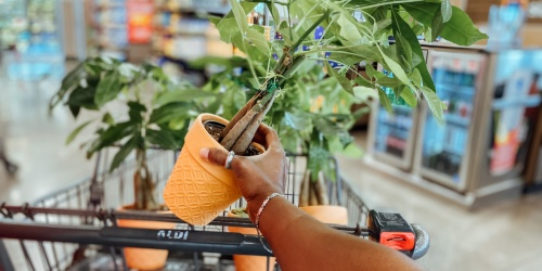 Welcome Prosperity to Your Home w/ a Money Tree | Just $7.99 at ALDI
