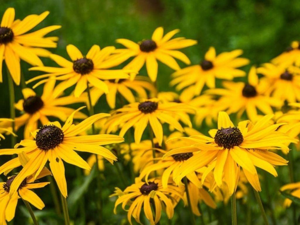 black-eyed susans flowers