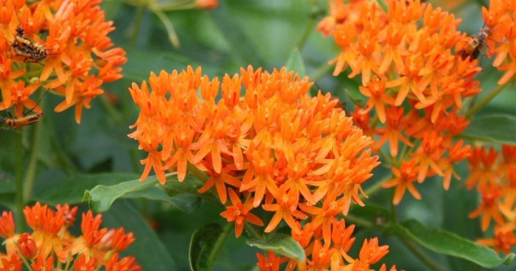 butterfly milkweed flowers