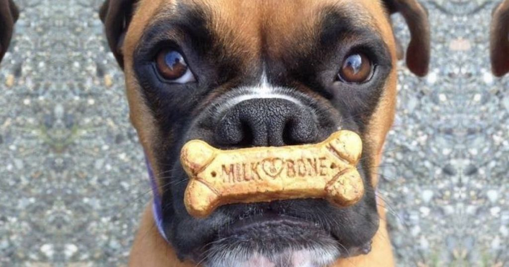 Milk Bone Biscuit on dog's mouth