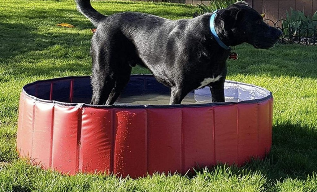 black lab standing in red pool