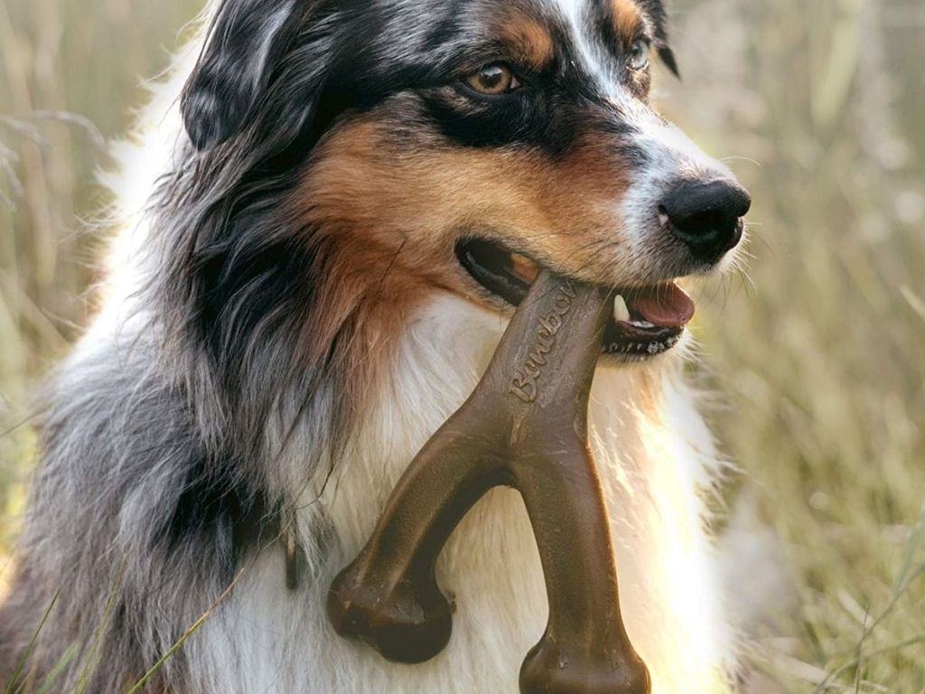 Collie chewing on toy bone