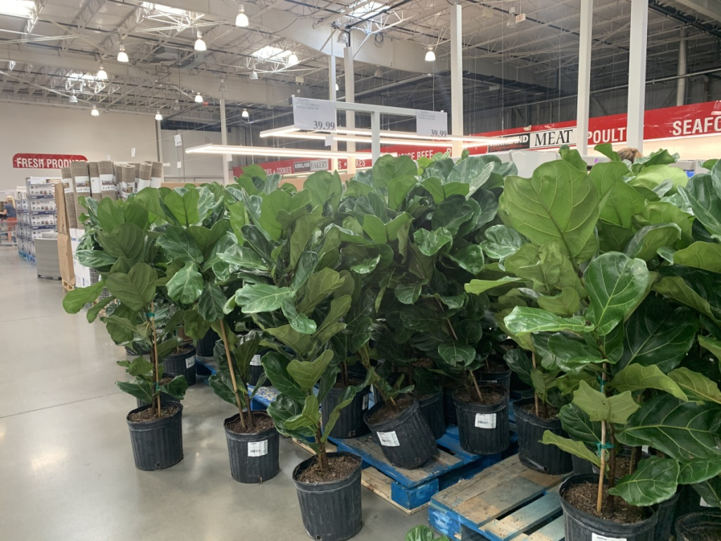 fiddle leaf fig trees at store