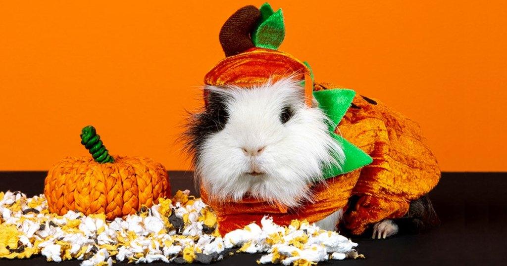 guinea pig in pumpkin costume