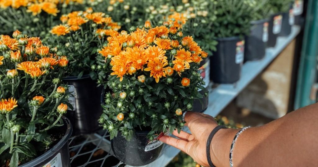 home depot store display of orange fall mums