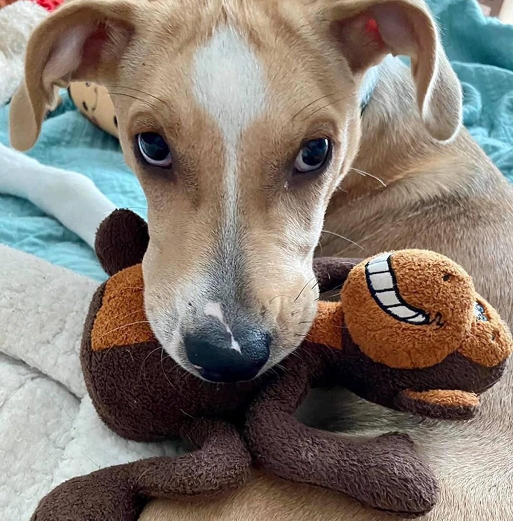 dog holding a monkey toy