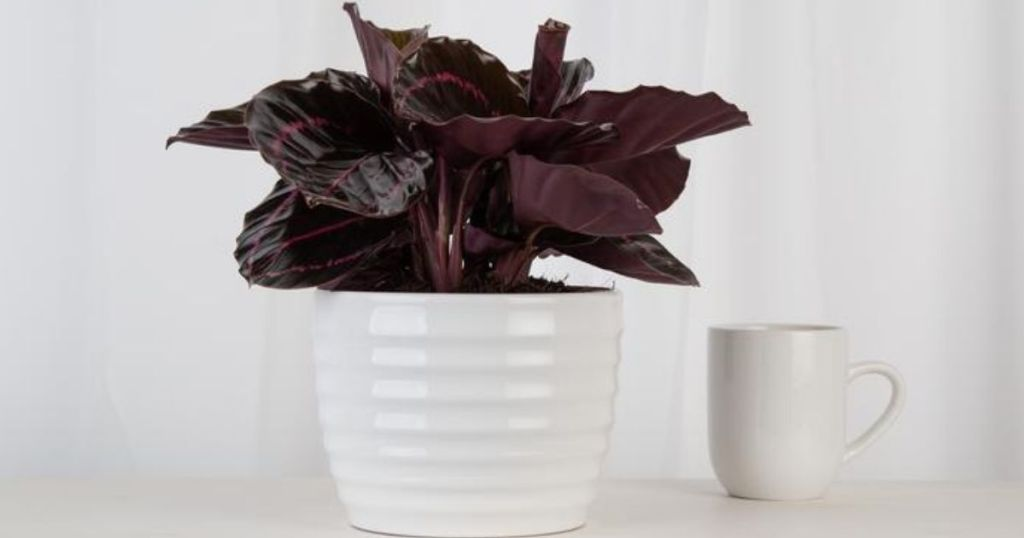 Potted Calathea next to a coffee cup