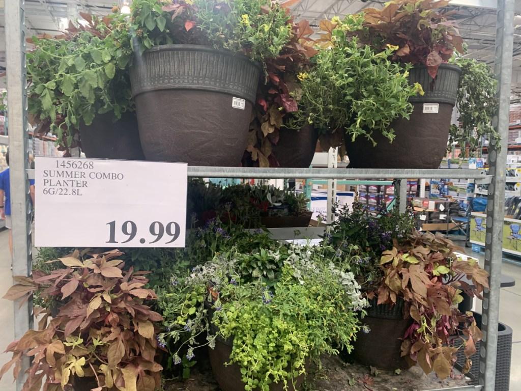 summer plants in planter on store shelf