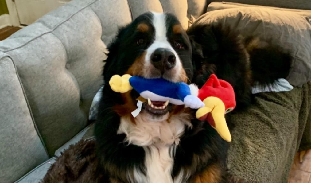 dog holding a woodpecker toy