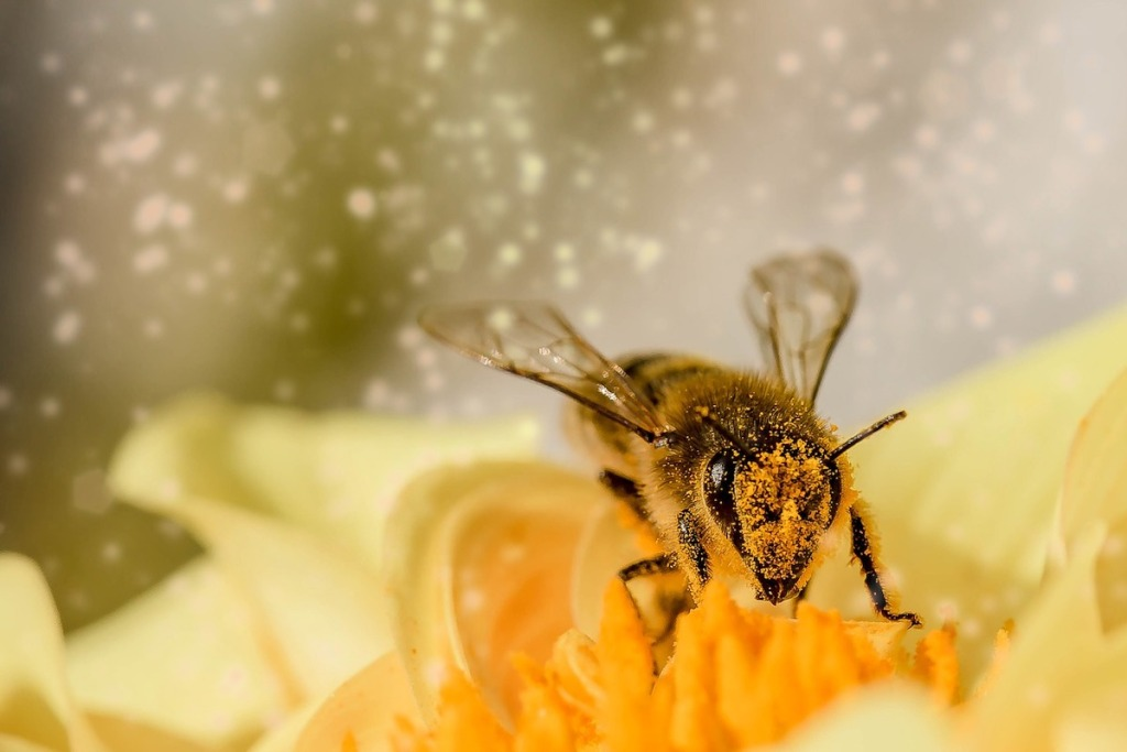 honey bee on flower with pollen all over it