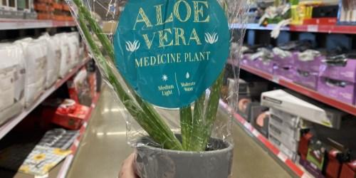 Aloe Vera Medicine Plants Only $3.99 at ALDI