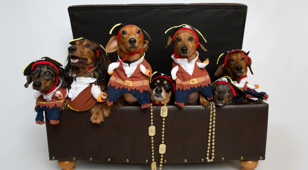 dogs in pirate costumes in a chest